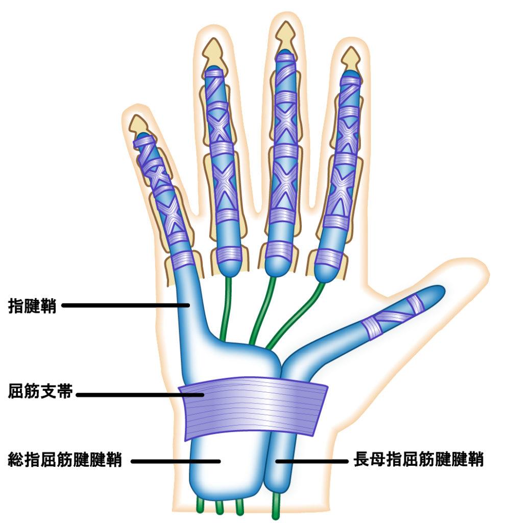 腱と腱鞘の構造。腱を包むように腱鞘があるので、炎症などで腱が太くなったり、腱鞘が厚くなると通過障害を起こして痛みや動きづらさにつながります。