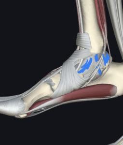 足首内側の靱帯
