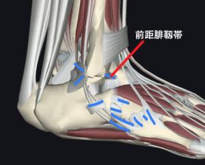 足の捻挫で損傷しやすい外側の靱帯と腱